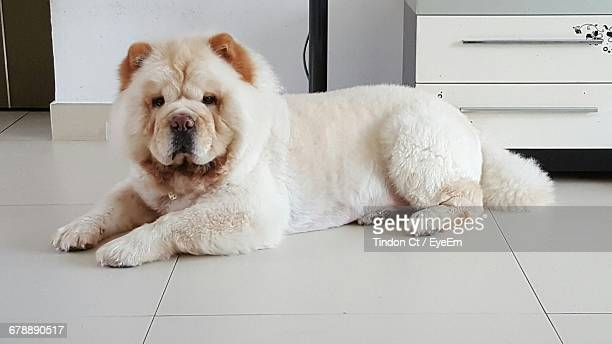 Portrait Of Chow Dog Sitting On Tiled Floor At Home