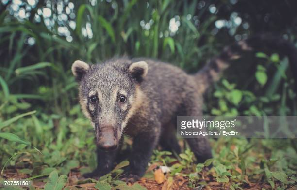 Portrait Of Coatiagainst Trees On Field