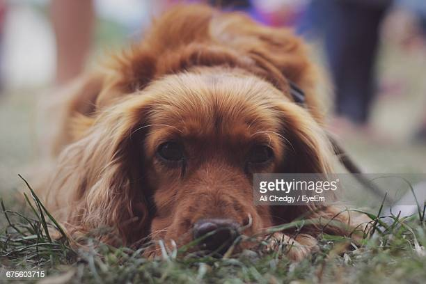 Portrait Of Cocker Spaniel Relaxing On Field