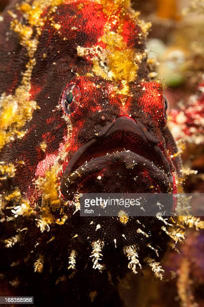 Portrait of  Commerson's Frogfish Antennarius commerson, Lembeh Strait, Sulawesi, Indonesia