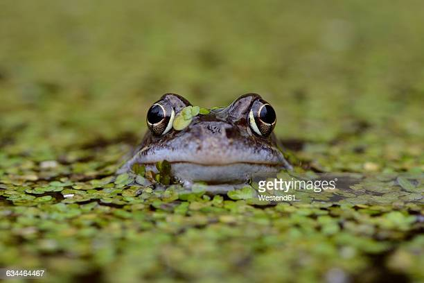 portrait of common frog in between duckweed in a pond - frog stock pictures, royalty-free photos & images
