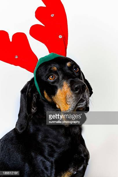 portrait of coonhound dog - coonhound stock pictures, royalty-free photos & images