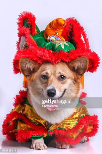 Portrait of corgi dog in China