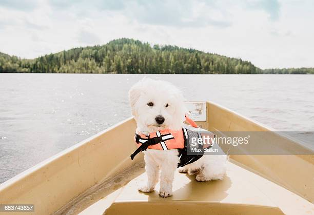 portrait of coton de tulear dog wearing life jacket sitting on boat, orivesi, finland - life jacket stock pictures, royalty-free photos & images