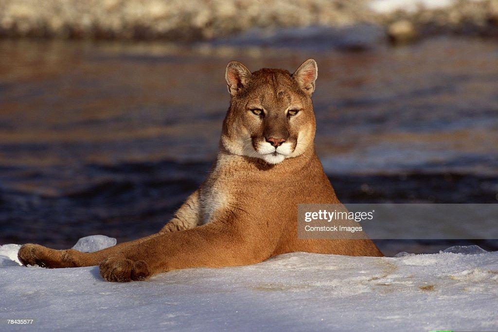 Portrait of cougar , Montana : Stockfoto
