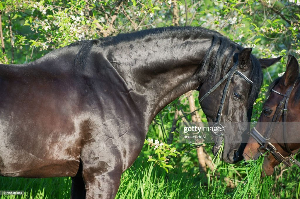 Portrait of couple  beautiful  breed stallion. spring : Stock Photo