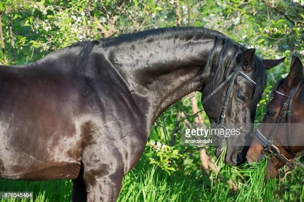 Portrait of couple  beautiful  breed stallion. spring
