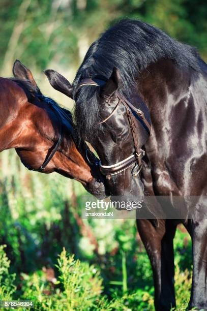 portrait of couple of  breed stallions