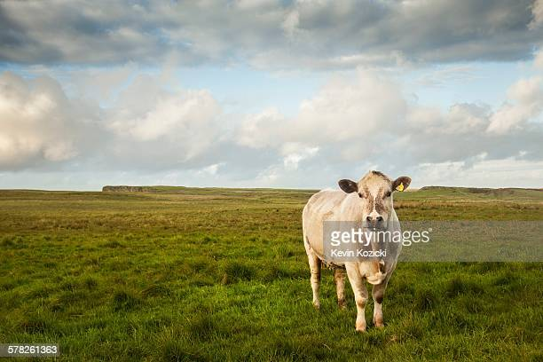 Portrait of cow in field, Giants Causeway, Bushmills, County Antrim, Northern Ireland, elevated view