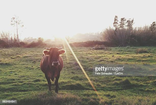 Portrait Of Cow In Pasture