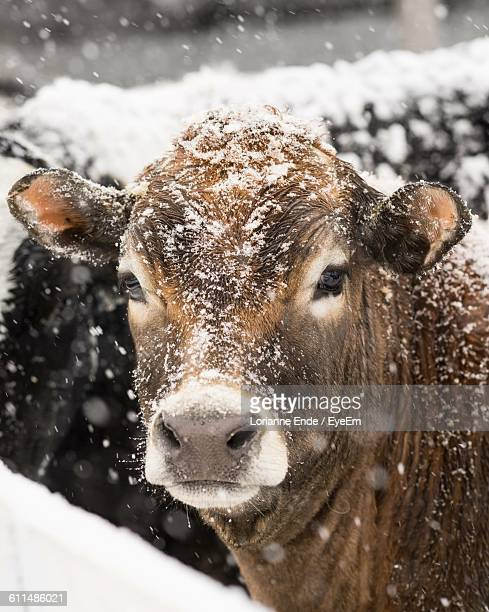 Portrait Of Cow In Snowfall