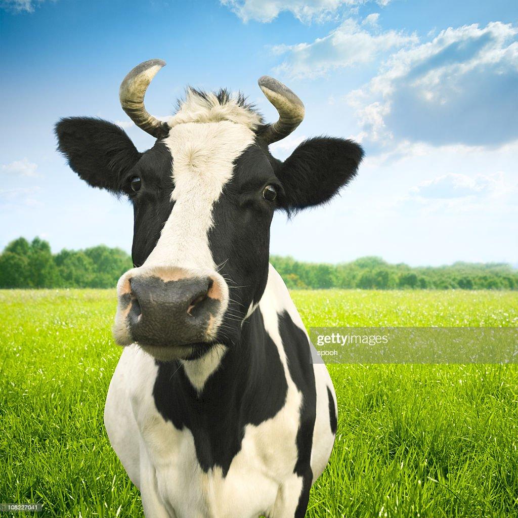 Portrait of cow on green idyllic pasture : Stock Photo