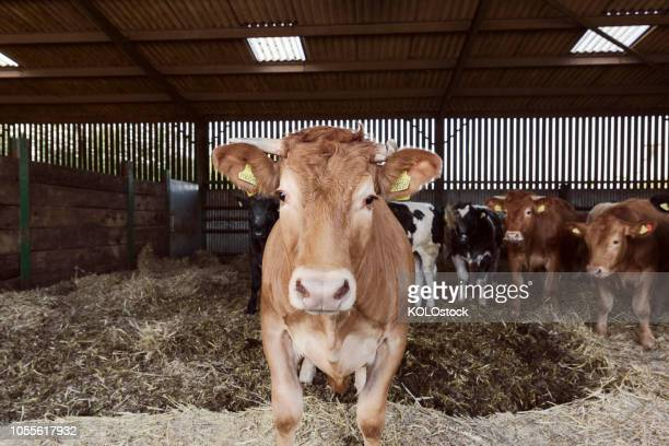 portrait of cow - boston lincolnshire stock photos and pictures