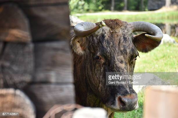 portrait of cow standing by logs on field - gard stock photos and pictures