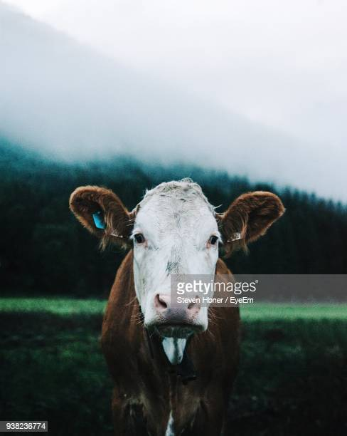 portrait of cow standing on field against sky - cow eye stock pictures, royalty-free photos & images