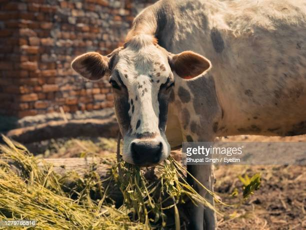 portrait of cow standing on field - pakistan stock pictures, royalty-free photos & images
