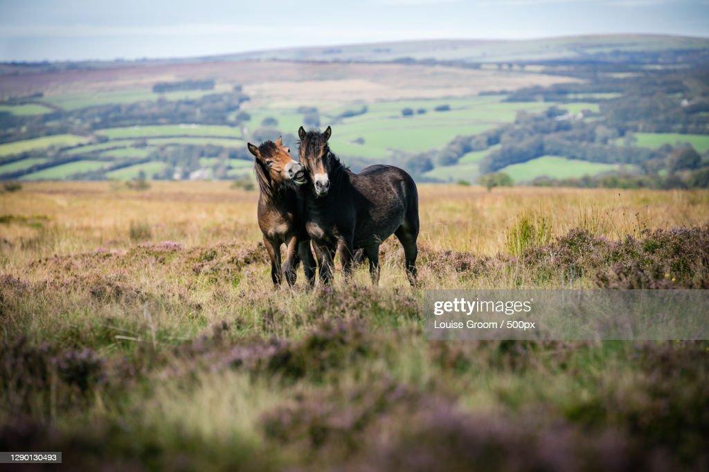 Portrait of cow standing on field,Exmoor National Park,Dulverton,Somerset,United Kingdom,UK : Stock Photo
