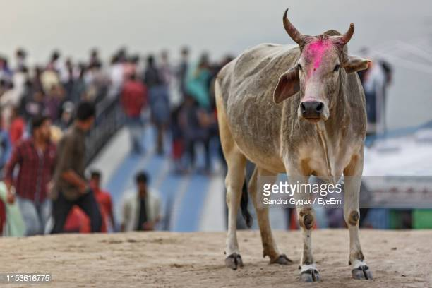 portrait of cow standing on street against sky - sandra gygax stock-fotos und bilder