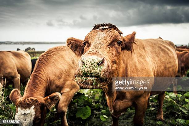 portrait of cows grazing - grazing stock pictures, royalty-free photos & images