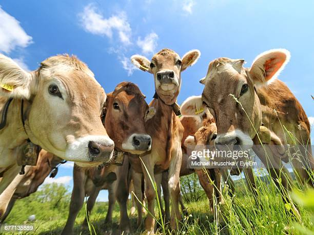portrait of cows standing on grassy field - michael hruschka stock pictures, royalty-free photos & images