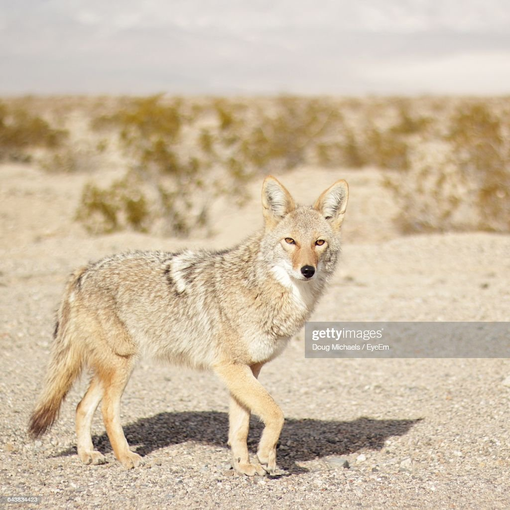 Portrait Of Coyote In Death Valley National Park Stock Photo