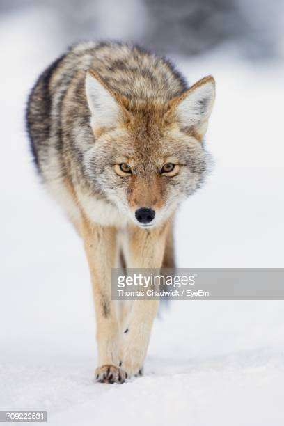 portrait of coyote on snow - coyote stock pictures, royalty-free photos & images
