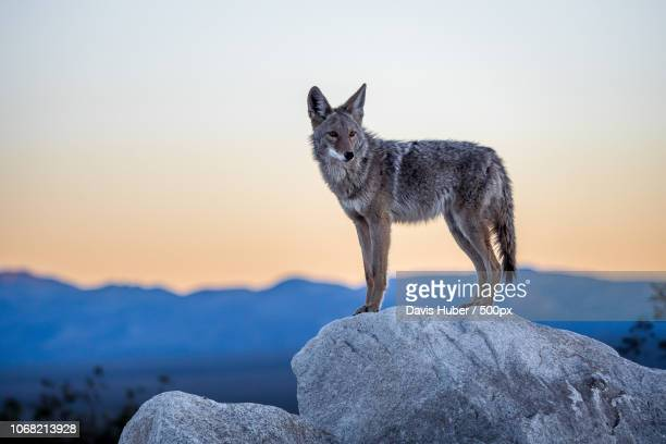 portrait of coyote standing on rock - coyote stock pictures, royalty-free photos & images
