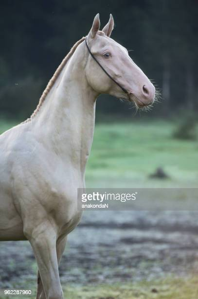 portrait of creamello purebred akhalteke stallion at early morning