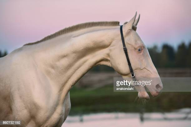portrait of creamello purebred akhalteke stallion at sunset