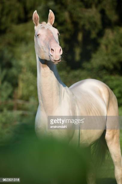 portrait of creamello purebred young akhalteke stallion