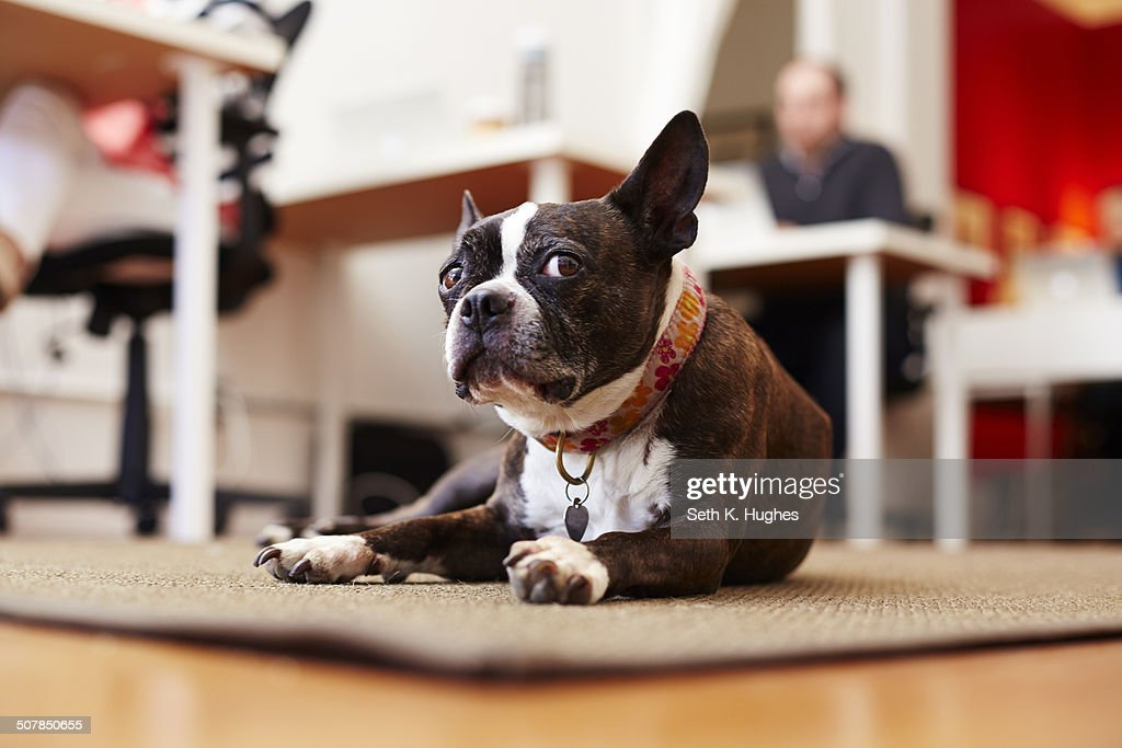 Portrait of curious dog lying on rug in an office : Stock Photo