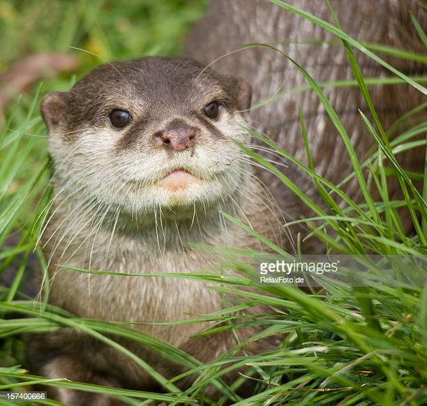 portrait of curious river otter - river otter stock pictures, royalty-free photos & images