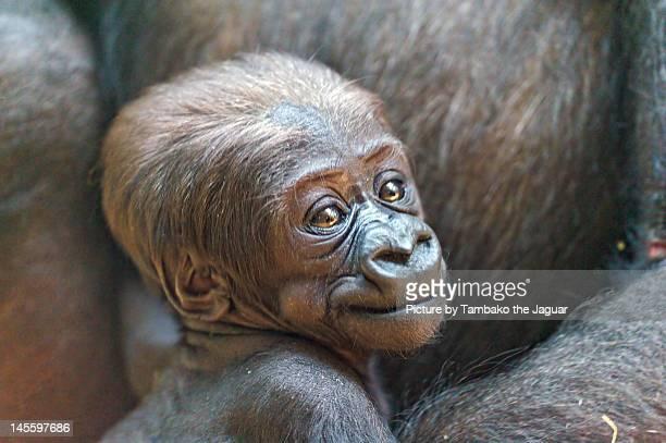 Portrait of cute baby gorilla