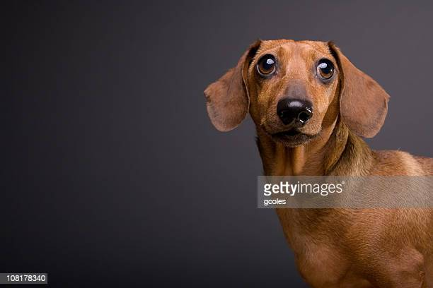 portrait of cute dachshund dog on gray background - dachshund stock pictures, royalty-free photos & images