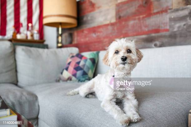 portrait of cute dog lying on living room sofa - bow tie stock pictures, royalty-free photos & images