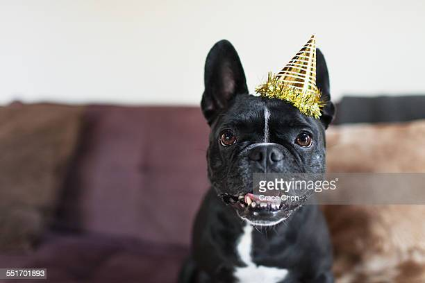 Portrait of cute dog on sofa wearing party hat