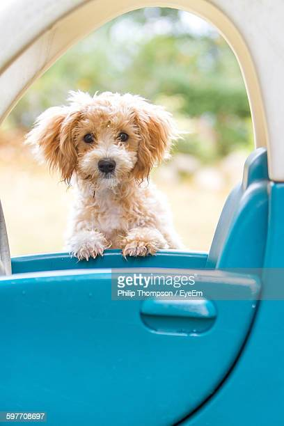 Portrait Of Cute Dog With Toy Car