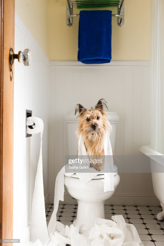 Portrait of cute dog wrapped in toilet paper on toilet seat : Stock Photo