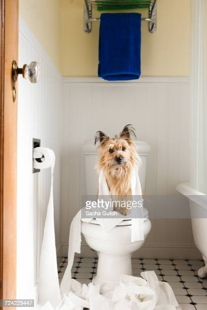 portrait of cute dog wrapped in toilet paper on toilet seat - funny toilet paper stock pictures, royalty-free photos & images