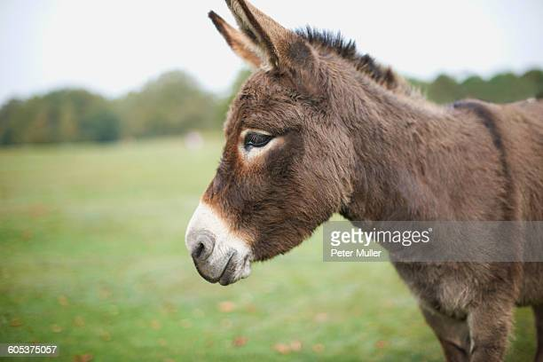 Portrait of cute donkey in field