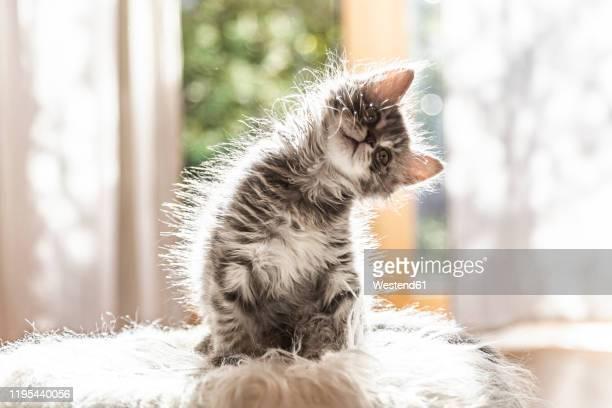 portrait of cute fluffy kitten tilting head - niedlich stock-fotos und bilder