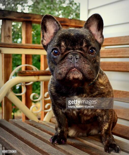 Portrait Of Cute French Bulldog Sitting On Bench