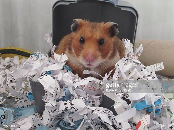 Portrait Of Cute Guinea Pig With Shredded Papers
