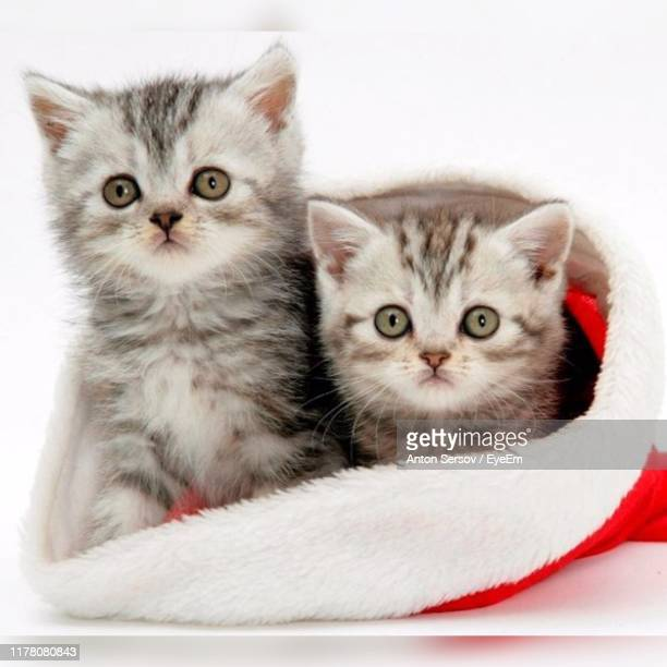 portrait of cute kittens in santa hat - christmas kittens stock pictures, royalty-free photos & images