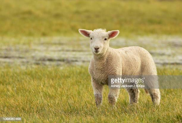 Portrait of cute lamb standing on grass