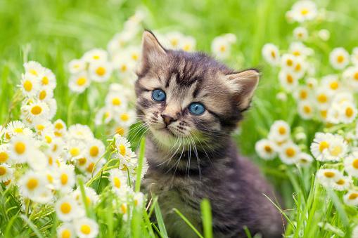 Portrait of cute little kitten outdoors in flowers 485575238