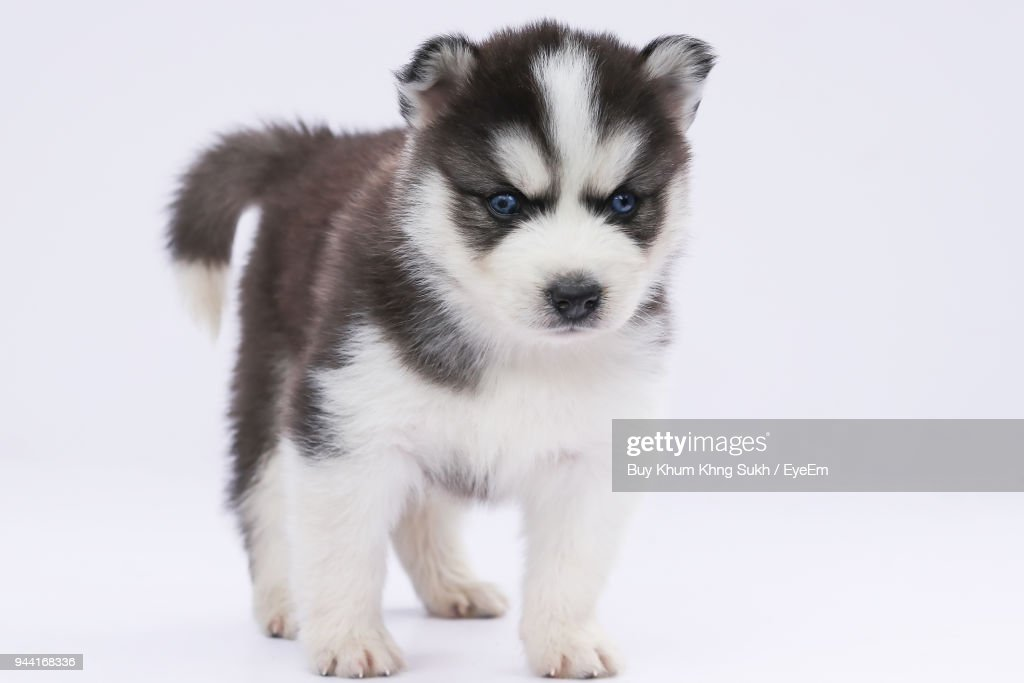 Portrait Of Cute Siberian Husky Puppy Against White Background Stock