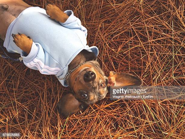 Portrait Of Dachshund Dog Lying On Straw
