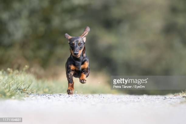 portrait of dachshund running on dirt road - teckel fotografías e imágenes de stock