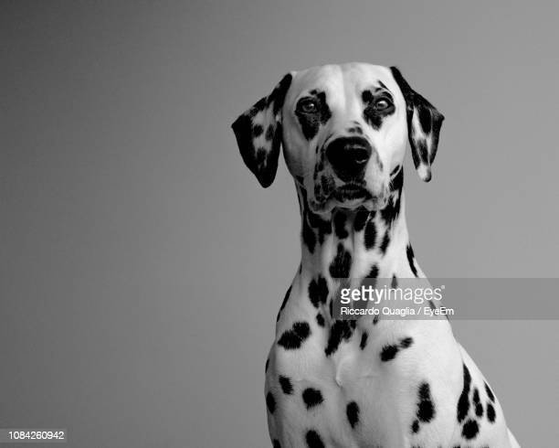 portrait of dalmatian dog against gray background - dalmatian dog stock pictures, royalty-free photos & images